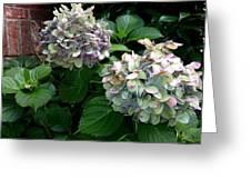 Hydrangeas In The Garden Greeting Card