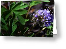 Hydrophyllum Capitatum Greeting Card