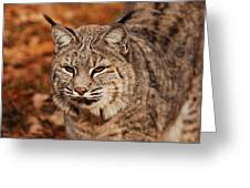 I Am One Good Looking Bobcat Greeting Card