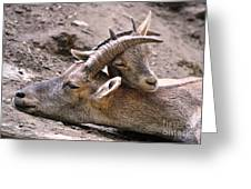 Ibex Mother And Son Greeting Card