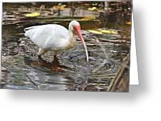 Ibis At Corkscrew Swamp Greeting Card
