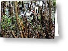 Ibis In The Swamp Greeting Card