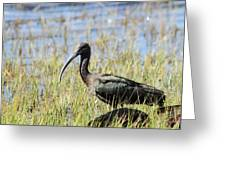 Ibis Looking Around Greeting Card