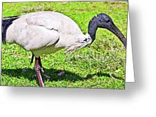 Ibis Looking For Food Greeting Card