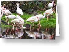 Ibis Reflections Greeting Card