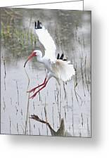 Ibis Soft Water Landing Greeting Card