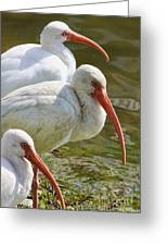 Ibis Three Greeting Card