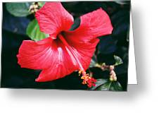 Ibiscus Greeting Card