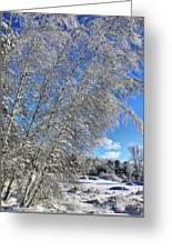 Ice Laden Birches Greeting Card