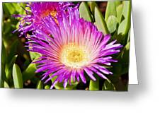 Ice Plant Blossom Greeting Card