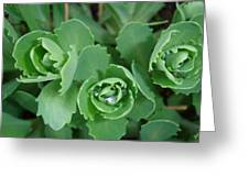 Ice Plant  Greeting Card
