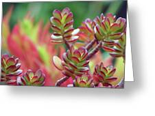 California Red Tip Crassula Ovata Jade Plant Greeting Card