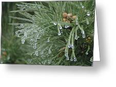 Iced Pine Greeting Card