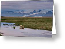 Iceland Sheep Reflections Panorama  Greeting Card