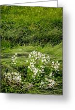 Icelandic Daisies Greeting Card