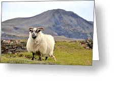 Icelandic Sheep Greeting Card
