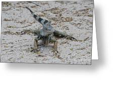Iguana With A Striped Tail On A Sand Beach Greeting Card