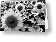 Illinois Sunflowers Greeting Card