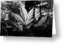 Illuminated Leaf, Black And White Greeting Card