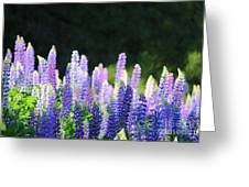 Illuminated Lupines Greeting Card