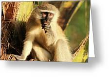 Illuminated Vervet Monkey  Greeting Card
