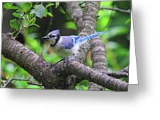I'm Looking - Blue Jay Greeting Card