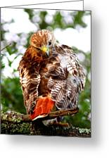 Img_1050-002 - Red-tailed Hawk Greeting Card