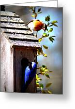 Img_1154 - Eastern Bluebird Greeting Card