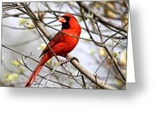 Img_2902-004 - Northern Cardinal Greeting Card