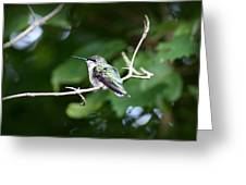 Img_3309 - Ruby-throated Hummingbird Greeting Card