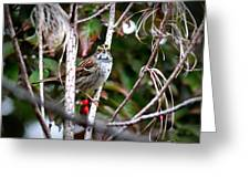 Img_6624-002 - White-throated Sparrow Greeting Card
