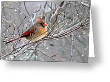 Img_6770 - Northern Cardinal Greeting Card