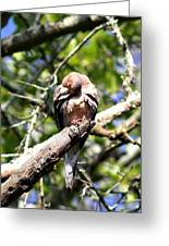 Img_7276 - Mourning  Dove Greeting Card