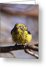 Img_9853 - Pine Warbler -  Very Wet Greeting Card