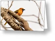Immature Altamira Oriole - Salineno Preserve - Texas Greeting Card