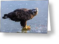 Immature Eagle Having Lunch Greeting Card