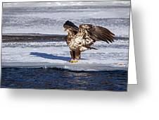 Immature Eagle On Ice Greeting Card