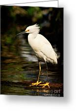Immature Snowy Egret Greeting Card