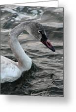 Immature Swan Greeting Card