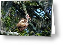 Immature White Ibis Greeting Card