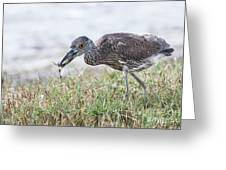 Immature Yellow Crown Night Heron Greeting Card