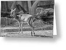 Impala    Black And White Greeting Card