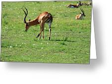 Impala Buck Greeting Card
