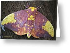 Imperial Moth Greeting Card