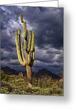 In Search Of That Perfect Saguaro  Greeting Card