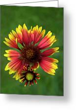 Indian Blanket Flower - Gaillardia Greeting Card