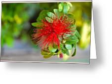 Indian Bottlebrush Flower Greeting Card