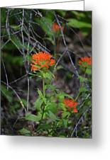 Indian Paint Brush 2 Greeting Card