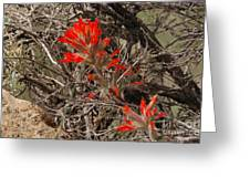 Indian Paint Brush Greeting Card