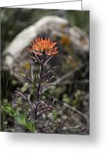 Indian Paintbrush 7 Greeting Card